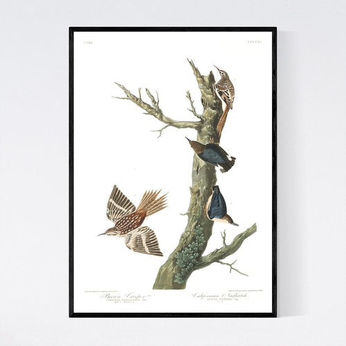 Brown Creeper and Californian Nuthatch Print by John Audubon