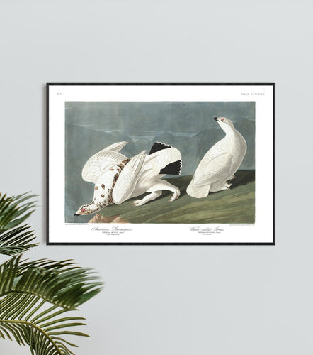 American Ptarmigan and White-Tailed Grous Print by John Audubon