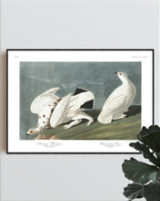 Load image into Gallery viewer, American Ptarmigan and White-Tailed Grous Print by John Audubon