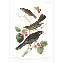 Load image into Gallery viewer, Little Tawny Thrush Ptiliogony's Townsendi and Canada Jay Print by John Audubon