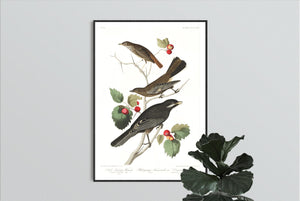 Little Tawny Thrush Ptiliogony's Townsendi and Canada Jay Print by John Audubon