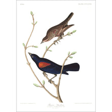 Load image into Gallery viewer, Prairie Starling Print by John Audubon