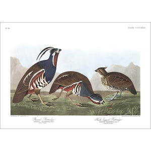 Plumed-Partridge and Thick-Legged Partridge Print by John Audubon