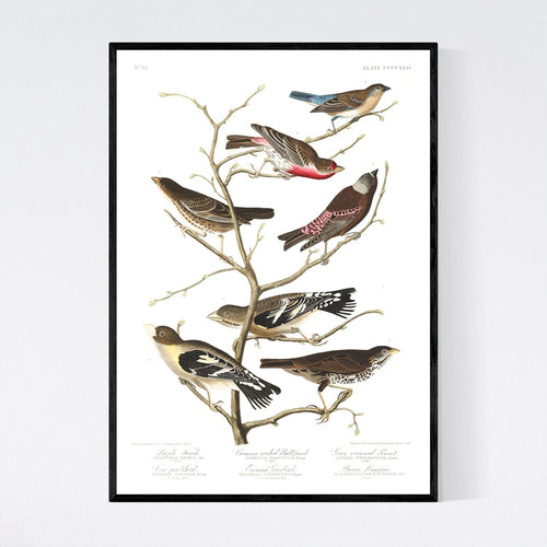 Lazuli Finch Crimson-Necked Bullfinch Grey-Crowned Linnet Cow Pen Brid Evening Grosbeak and Brown Longspur Print by John Audubon