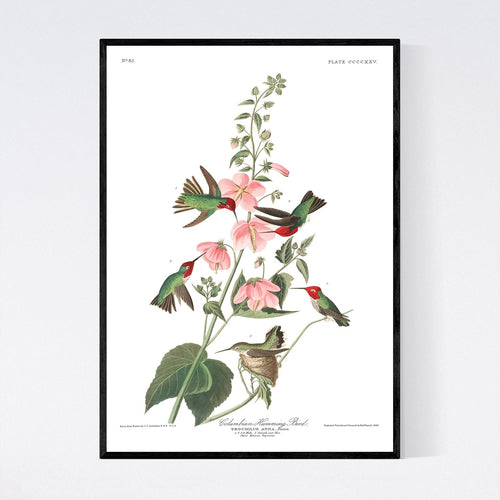 Columbian Humming Bird Print by John Audubon