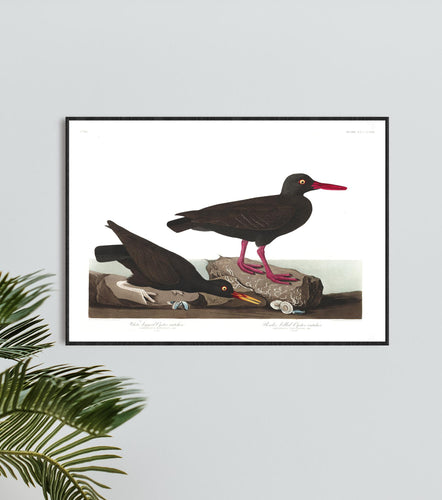 White-Legged Oyster Catcher and Slender-Billed Oyster Catcher Print by John Audubon