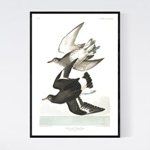 Load image into Gallery viewer, Townsend's Sandpiper Print by John Audubon