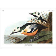 Load image into Gallery viewer, Western Duck Print by John Audubon