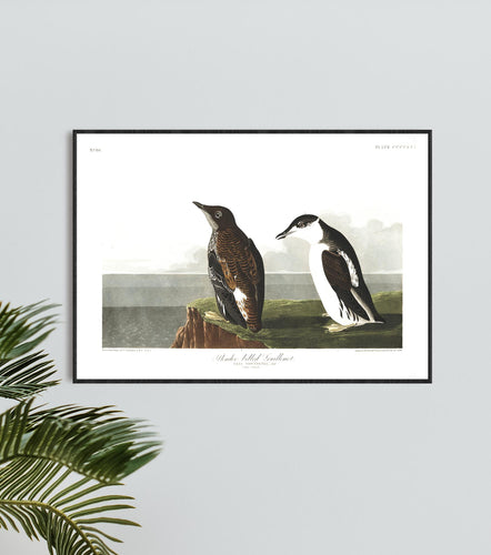 Slender-Billed Guillemot Print by John Audubon