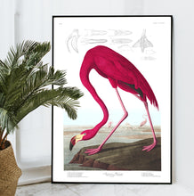 Load image into Gallery viewer, American Flamingo Print by John Audubon