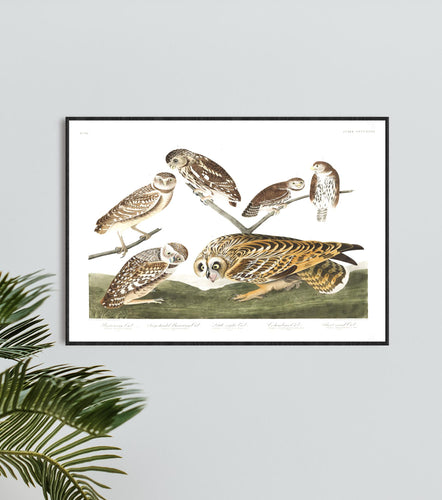 Burrowing Owl Large-Headed Burrowing Owl Little Night Owl Columbian Owl and Short-Eared Owl Print by John Audubon