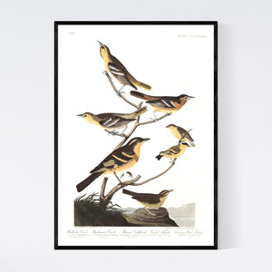 Bullock's Oriole Baltimore Oriole Mexican Goldfinch Varied Thrush and Common Water Thrush Print by John Audubon