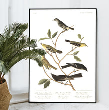 Load image into Gallery viewer, Little Tyrant Fly-Catcher Blue Mountain Warbler Short-Legged Pewee Small-Headed Fly-Catcher Bartram's Vireo and Rocky Mountain Fly-Catcher Print by John Audubon