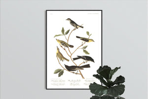Little Tyrant Fly-Catcher Blue Mountain Warbler Short-Legged Pewee Small-Headed Fly-Catcher Bartram's Vireo and Rocky Mountain Fly-Catcher Print by John Audubon