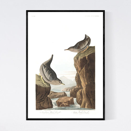 Columbian Water Ouzel and Arctic Water Ouzel Print by John Audubon