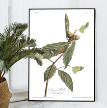 Load image into Gallery viewer, Swainson's Warbler Print by John Audubon
