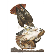 Load image into Gallery viewer, Red-Tailed Hawk Print by John Audubon