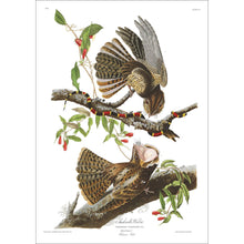 Load image into Gallery viewer, Chuck-Will's Widow Print by John Audubon
