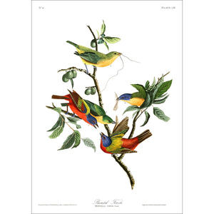 Painted Finch Print by John Audubon