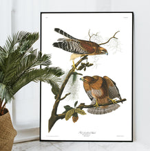 Load image into Gallery viewer, Red-Sholdered Hawk Print by John Audubon