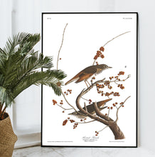 Load image into Gallery viewer, Hermit Thrush Print by John Audubon