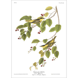Carbonated Warbler Print by John Audubon