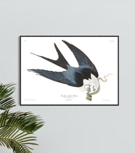 Load image into Gallery viewer, Swallow-Tailed Hawk Print by John Audubon