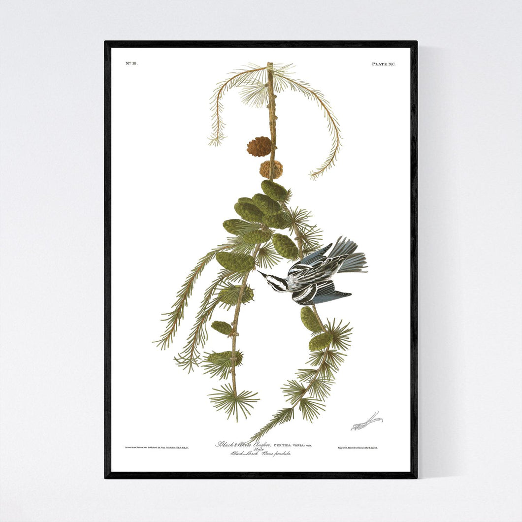 Black and White Creeper Print by John Audubon
