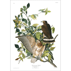Broad-Winged Hawk Print by John Audubon