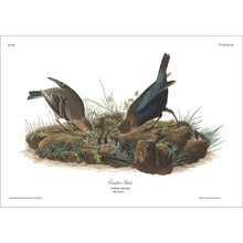Load image into Gallery viewer, Cow-Pen Bird Print by John Audubon