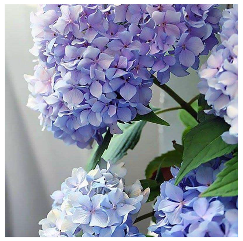 Paint By Numbers Hydrangea