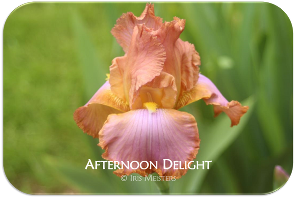 Tall bearded iris Afternoon Delight