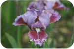 Standard Dwarf Bearded iris Alamo Joe