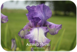 Tall bearded iris Altered States