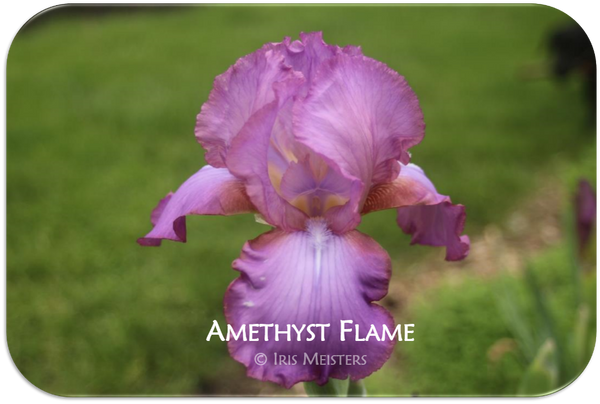 Tall bearded iris Amethyst Flame