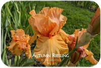 Autumn Riesling