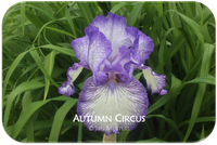 Tall bearded iris Autumn Circus