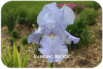 Tall bearded iris Babbling Brook