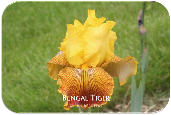 Tall bearded iris Bengal Tiger