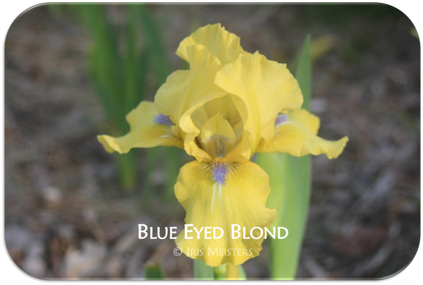 Intermediate bearded iris Blue Eyed Blond