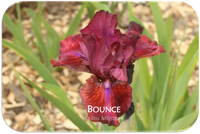 Intermediate bearded iris Bounce