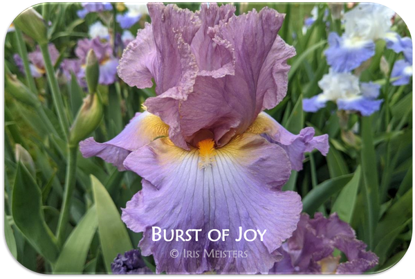 Tall bearded iris Burst of Joy