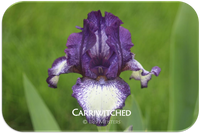 Intermediate bearded iris Carriwitched