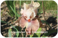 Tall bearded iris Champagne and Strawberries
