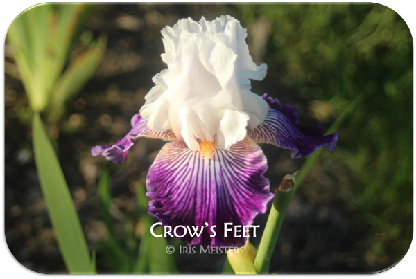 Border bearded iris Crow's Feet