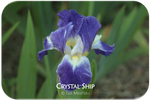Standard Dwarf Bearded iris Crystal Ship