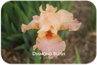 Tall bearded iris Diamond Blush