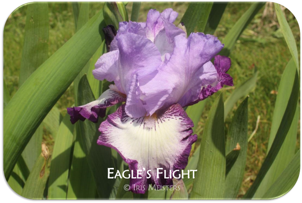 Tall bearded iris Eagle's Flight