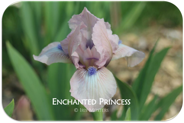 Standard Dwarf Bearded iris Enchanted Princess