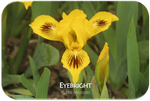 Standard Dwarf Bearded iris Eyebright